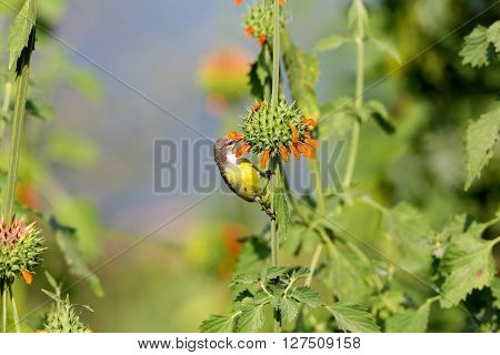 Female purple-rumped sunbird. This sunbird endemic to the Indian Subcontinent. They are small in size, feeding mainly on nectar but sometimes take insects, particularly when feeding young.