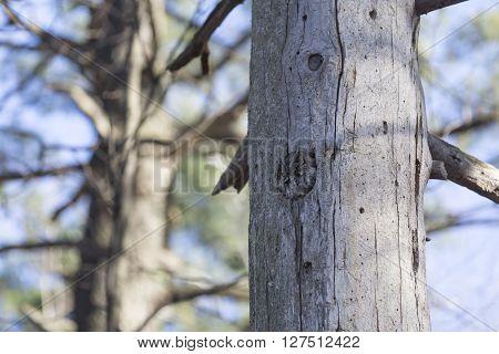 An Eastern Screech Owl in its habitat
