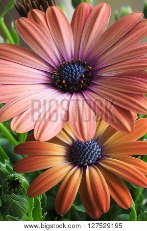 Orange and pink osteospermum daisy flower closeup