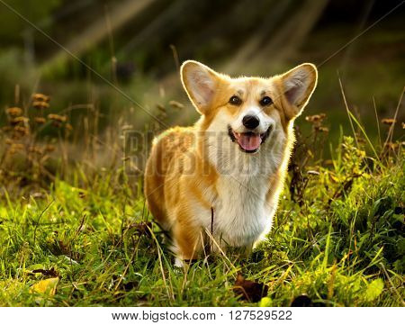 dog Welsh Corgi Pembroke on the grass in summer sunny day