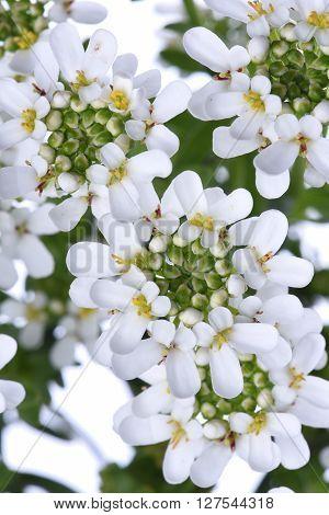 Candytuft Iberis white sempervirens flower closeup in sunshine