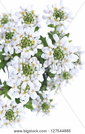 Candytuft Iberis sempervirens isolated on white background