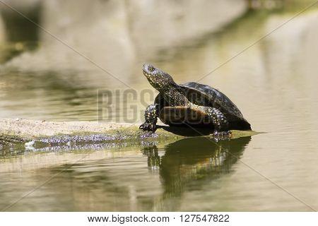European pond turtle sunbathing on the branch