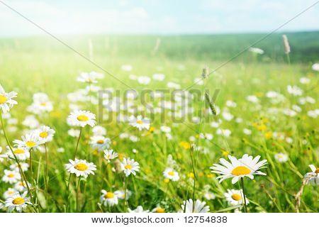 field of daisyes