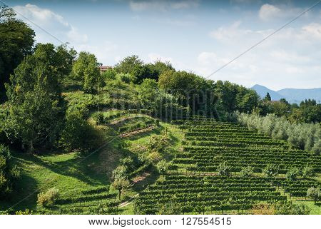 vineyard on a green hillside in Bergamo a town near Lake Como