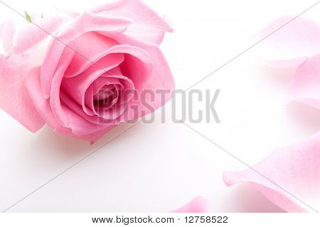 Close up of the pink rose petals