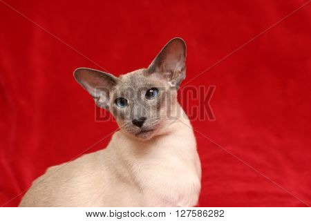 Modern Blue point Siamese (aka Wedgie Siamese)