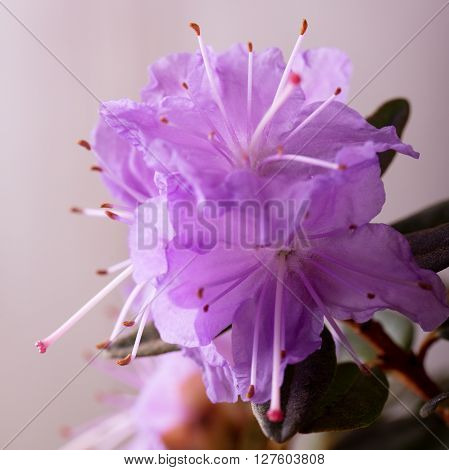Three Pink Rhododendron Blooms