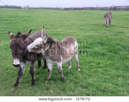 two donkeys in a field appearing to show affection poster