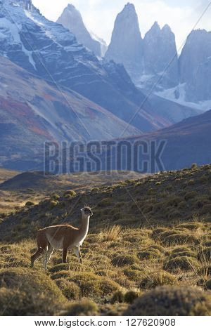 Guanaco (Lama guanicoe) on a hillside in Torres del Paine National Park in the Magallanes region of southern Chile.