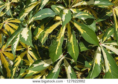 A group of tropical ornamental cassava plants with variegated green and yellow palmate leaves on a sunny day. Another name for it is ornamental tapioca. It's botanical name is Manihot esculenta Variegata