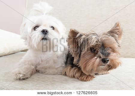 Two cute dogs white maltese and yorkshire terrier on a sofa at home