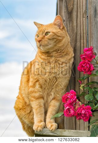 Ginger tabby cat sitting on the side of wooden porch, with roses