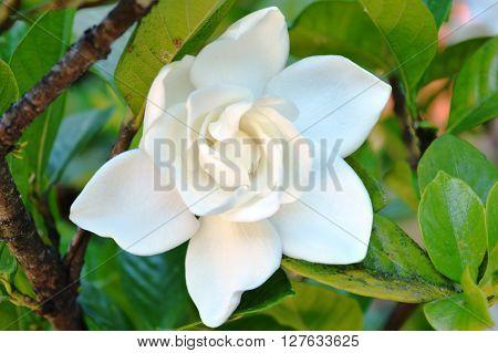 White jasmine flower in the garden. Parfum flower