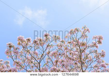 the pink trumpet flower with the sky and cloud