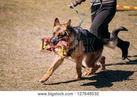 German Shepherd Dog Training. Biting Alsatian Wolf Dog. Deutscher Dog Running With Handler