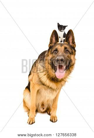 Funny German Shepherd sitting with a kitten on the head isolated on white background