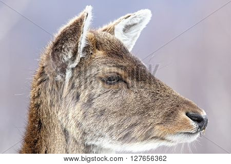 fallow deer calf close up portrait ( Dama dama female )