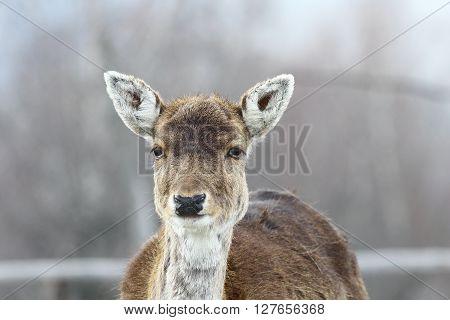 cute fallow deer hind portrait ( Dama dama )