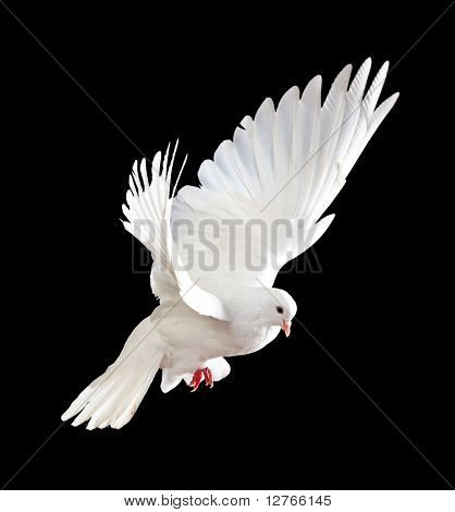A free flying white dove isolated on a black background poster