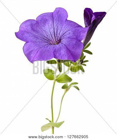 Purple flowers petunia isolated on a white background