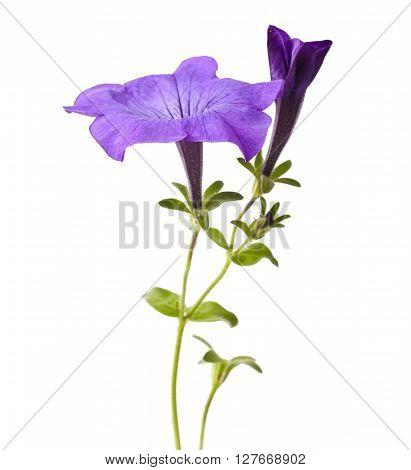 Purple flowers petunia isolated on white background