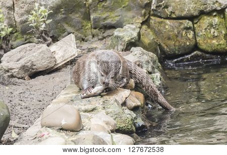 Lutra lutra European otter eating fish near the water