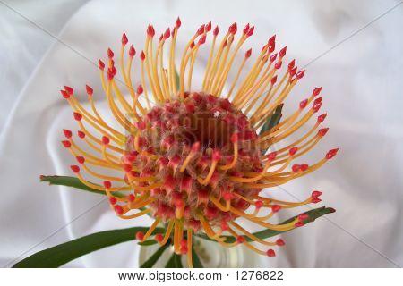 Leucospermum Cordifolium Lineare