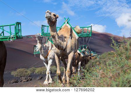 Camel caravan as tourist attraction in Timanfaya National Park. poster