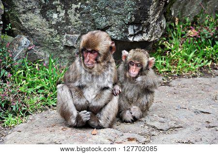 Two snow monkey babies Jigokudani Nagano Japan ** Note: Visible grain at 100%, best at smaller sizes