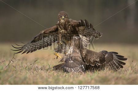 Common Buzzards (buteo Buteo)