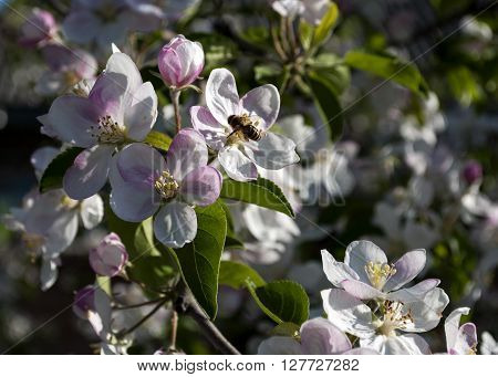 apple tree in bloom in the spring month of April Ukraine