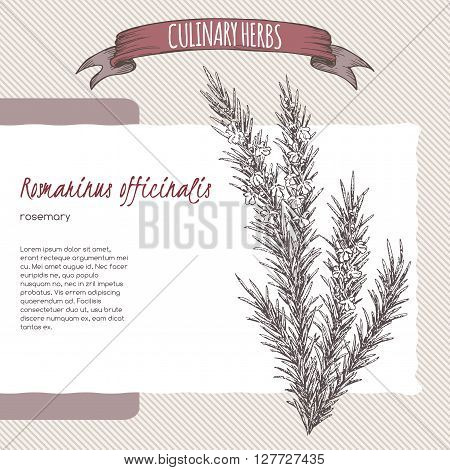 Rosmarinus officinalis aka rosemary vector hand drawn sketch. Culinary herbs collection. Great for cooking, medical, gardening design.