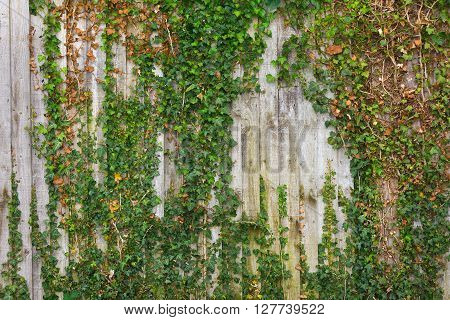 Old wooden fence covered with trailing ivy.