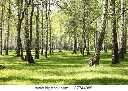 Spring birch trees in forest, beautiful birch grove, birch-wood, green landscape