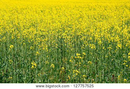 Field with canola. A field of flowering canola.