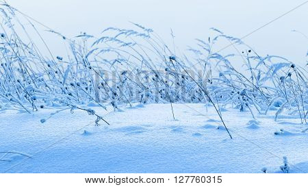 Beautiful fluffy white snow to dry in a field of wild grass and ears cold frosty winter Russia