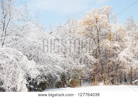 snow and ice weigh on trees after an ice storm