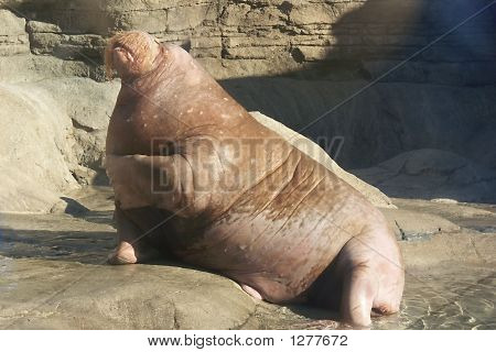 Adult Walrus
