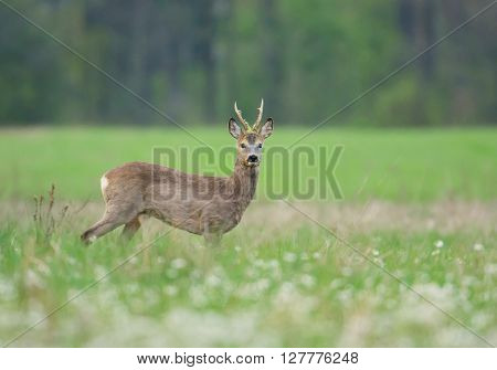 Male roe deer (Capreolus capreolus) in natural habitat