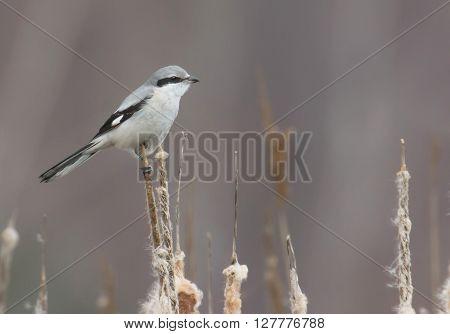 Northern Shrike the Butcher Bird Lanius excubitor Great Grey Gray Shrike