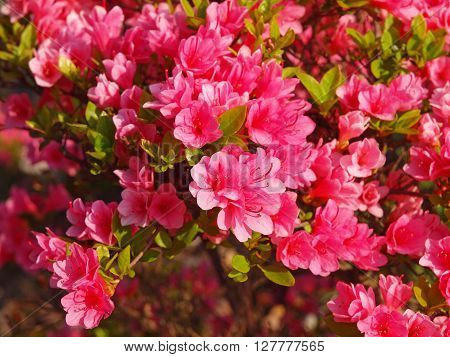 Flower of the azalea which colors a season from spring to early summer. ** Note: Visible grain at 100%, best at smaller sizes