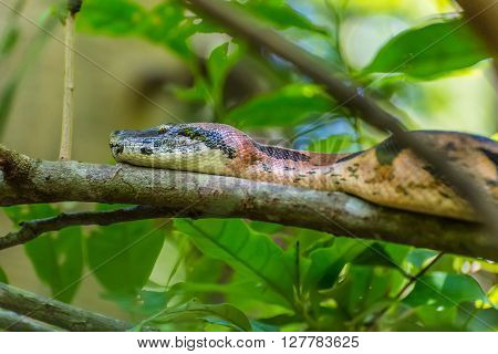 Boa constrictor on branches in a natural environment - Nosy Be Island Madagascar