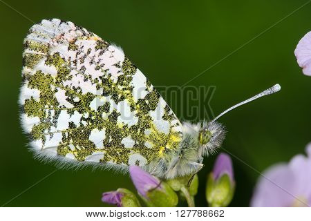 Orange-tip butterfly (Anthocharis cardamines). Male insect in the family Pieridae a family known as the whites. At rest on the foodplant lady's smock (Cardamine pratensis)
