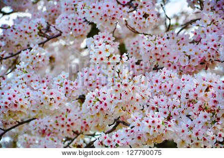 Cheery blossom in April -Hiroshima Prefecture, Japan