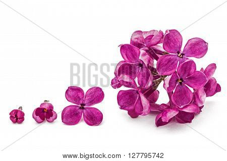 Gowth stages of flower lilac Syringa vulgaris isolated on white