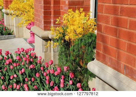 Beautiful welcome at doorway of brick building, with colorful tulips and forsythia