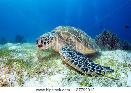 Green Sea Turtle on the sea bed eating seagrass.