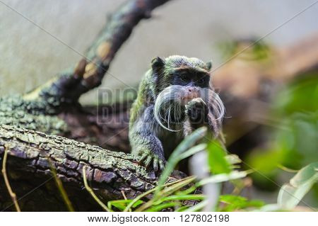 close up view of a tamarin in south America poster