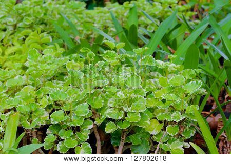 green leafs background :Epipremnum aureum is a species of flowering plant in the family of Araceae native in Mo'orea French Polynesia